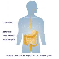 L'intestin grêle