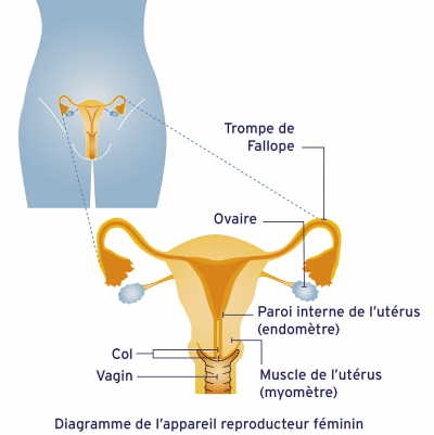 Système reproducteur