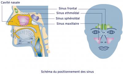 Shema des sinus