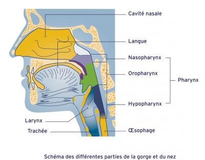 Schéma de la gorge et du nez