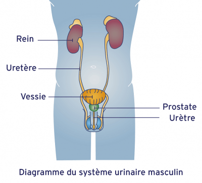 système urinaire masculin